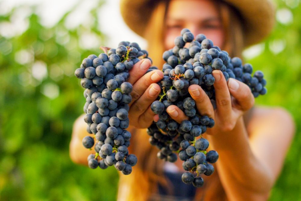 Vindima: como aproveitar a colheita das uvas na Serra Gaúcha